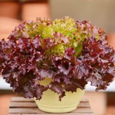 Amefurashi Benih / Bibit / Seed Sayur Selada Merah Red Lettuce Cocok Untuk Lalap