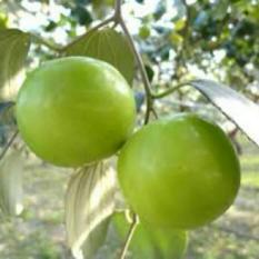 berisi 3 biji benih buah bidara apel / apple