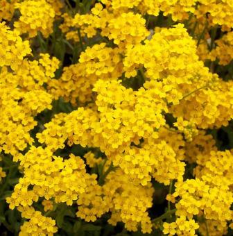 Crown Daisy Yellow Flower Daftar Source · Amefurashi Bibit Benih Bunga Gerbera Daisy .