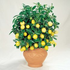 Victory Seed Biji Benih Bonsai Buah Jeruk Lemon lokal Berisi 32 Butir