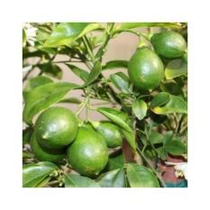 Amefurashi Bibit / Benih / Seed Buah Melon Golden Sweety Fruit HoneydewIDR14999. Rp 15.000