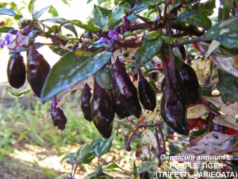 Amefurashi Benih Cabe Purple Tiger Pepper