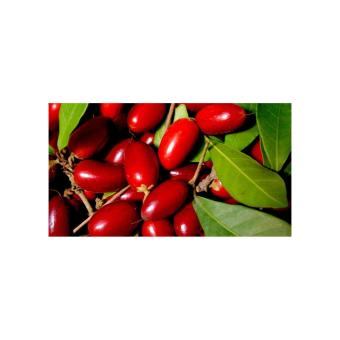 Amefurashi Bibit Benih Seed Buah Miracle Fruit Buah Ajaib 2 .
