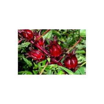Harga Source Amefurashi Bibit Benih Seed Herb Rosella 2 .