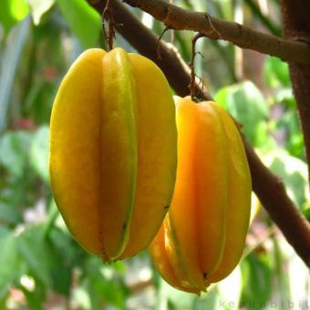 berisi 5 biji benih buah belimbing madu