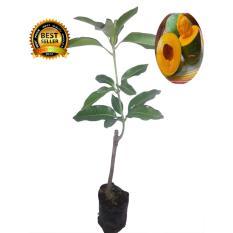 bibit tanaman mangga alpukat