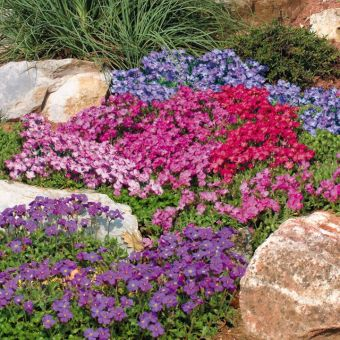 biji benih bunga aubrieta mix berisi 100 butir
