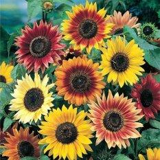 biji benih bunga mahoni berisi 25 butirIDR14950. Rp 14.950