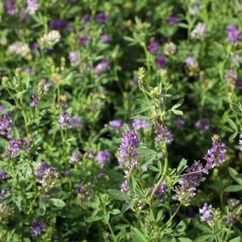 Bibit Bunga Benih Alfalfa