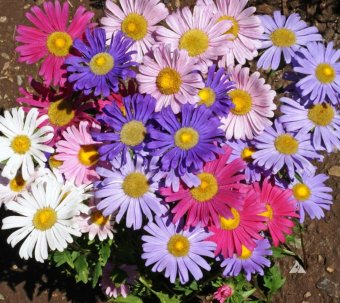 Harga Amefurashi Bibit / Benih Bunga Single Mixed China Aster Flower