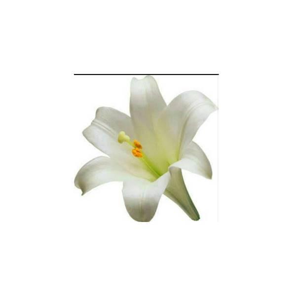 bibit parfum lily 100 ml